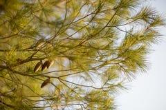 杉木分支和锥体反对天空-自然本底机智 免版税库存图片
