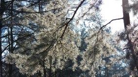 杉木分支在明亮的冬天太阳下的 图库摄影