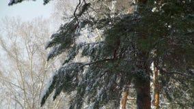 杉木分支在晴朗的冬日 影视素材