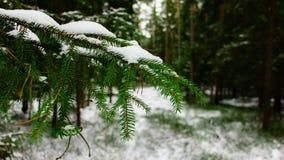 杉木分支在森林里 库存图片
