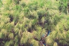 杉木分支在秋天季节的 土耳其在11月 定调子 免版税库存图片