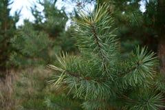 杉木分支在秋天森林里 免版税库存照片