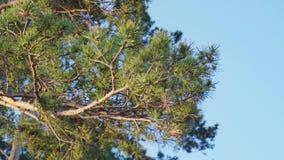 杉木分支在蓝天背景的  股票录像