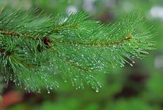 杉木分支在雨中投下特写镜头 库存图片