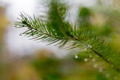 杉木分支在11月作为抽象艺术品的秋天森林里与b 免版税库存照片