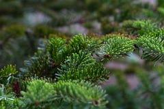 杉木分支宏观圣诞节季节 免版税库存图片
