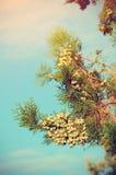 杉木分支的葡萄酒照片 免版税库存照片