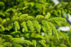 杉木分支 库存照片