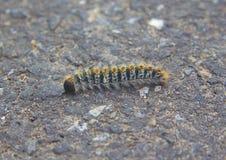 杉木列队前进的飞蛾或Thaumetopoea pityocampa的幼虫 免版税库存照片