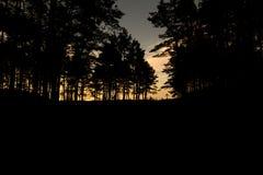 杉木剪影在橙色日落的 图库摄影
