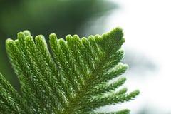 杉木叶子 库存图片