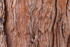 杉木吠声纹理背景老古老的松树雪松槭树云杉 免版税库存照片