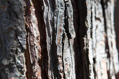 杉木吠声纹理背景老古老的松树雪松槭树云杉 库存照片