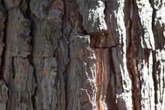 杉木吠声纹理背景老古老的松树雪松槭树云杉 库存图片