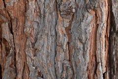 杉木吠声纹理背景老古老的松树雪松槭树云杉 免版税库存图片