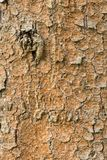 杉木吠声,抽象背景的纹理 免版税库存照片