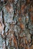 杉木吠声,木自然本底 免版税图库摄影
