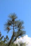 杉木和云杉的分支 免版税库存照片