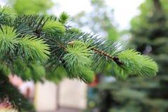 杉木和云杉的分支 库存图片