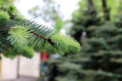 杉木和云杉的分支 免版税库存图片