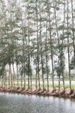 杉木和光 免版税库存照片