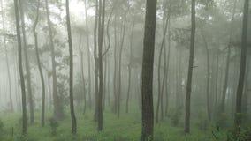 杉木和有雾 库存照片