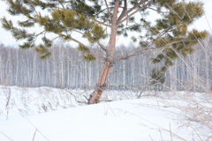 杉木和桦树在冬天 图库摄影