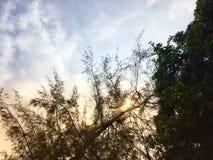 杉木和芒果树有蓝天和云彩背景 免版税库存图片