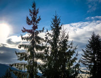 杉木和蓝天 免版税库存图片