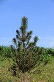 年轻杉木在公园 从事园艺城市 免版税图库摄影