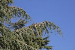 杉木在冬天和蓝天 库存图片