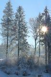 杉木在冬天 库存图片