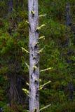 杉木在原野和山的林木 图库摄影