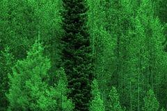 杉木在原野和山的林木 免版税库存图片