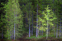 杉木在原野和山的林木 免版税库存照片