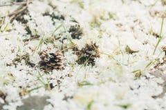 杉木在地面的锥体谎言在夏天 库存图片