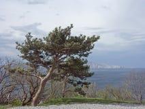 杉木在塞尼附近的达尔马提亚 库存图片