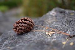 杉木在岩石的锥体秋天 库存照片