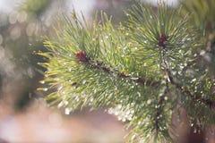杉木在早期的春天分支与露滴 库存照片