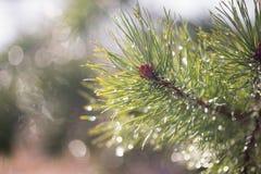 杉木在早期的春天分支与露滴 免版税库存图片