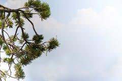 杉木在有天空的火山口湖国家公园分支在右边 免版税库存图片