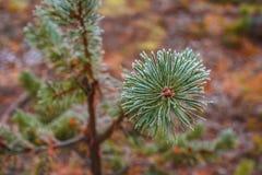 杉木在树冰晚秋天的绿色分支 免版税库存照片