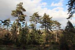 杉木在植物园里在第比利斯市在冬天 免版税库存图片