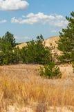 杉木在沙漠增长 库存图片