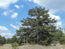 杉木在波罗园 免版税图库摄影