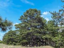 杉木在波罗园 库存照片