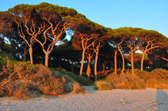 杉木在福洛尼卡 库存图片