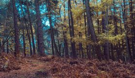 杉木在秋天上色的森林黄色 库存照片