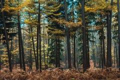 杉木在秋天上色的森林黄色 免版税库存照片