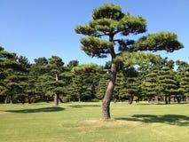 杉木在草甸在夏天 免版税库存照片